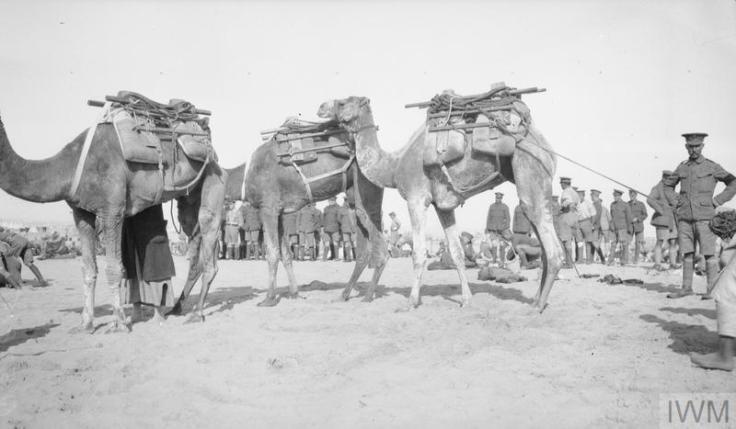 Q57815 SuezCanal Defences Camel Transport Somali Camels El Kubri Nov 1916
