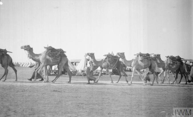 Suez Canal Defences. Camel transport arriving at El Kubri. November 1916.